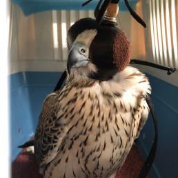 Falcon in box b2b pr
